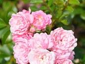 Romantický kultivar Leonardo da Vinci s růžovými květy patří k bujnějším typům