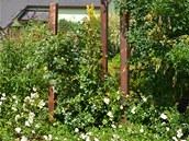 K dřevěným kůlům paní domu vyvazuje popínavé růže (ale mohly by to být i růže