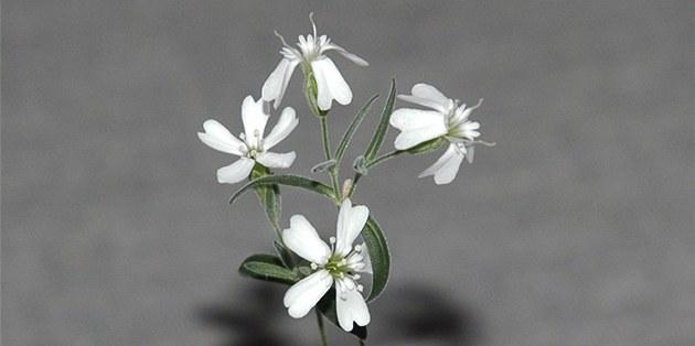 Rostlina Silene stenophylla, kterou ru�tí v�dci vyp�stovali ze semen nalezených