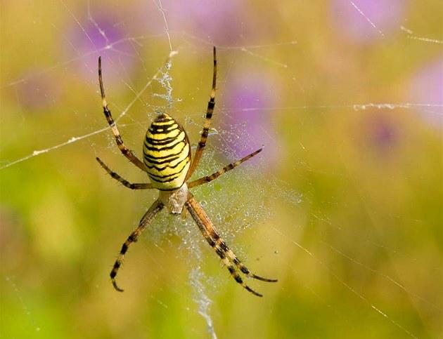 Křižák pruhovaný je původem subtropický pavouk z oblasti Středomoří, který