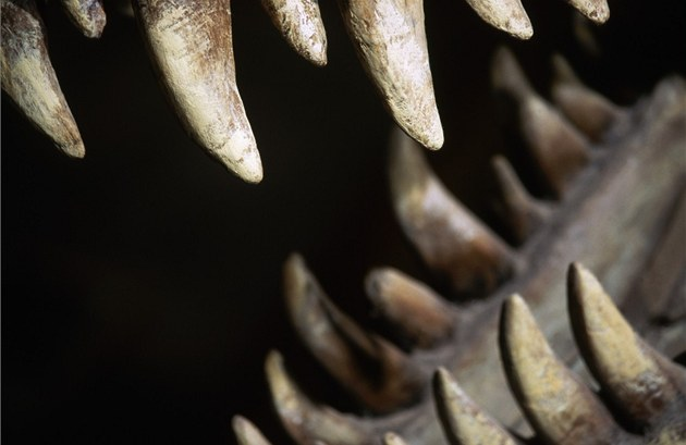 Síla stisku �elistí tyranosaura se dá p�irovnat k dosednutí st�edn� velkého