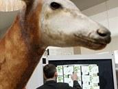 Ukázka, jak by měla vypadat nová expozice v Muzeu dr. Emila Holuba v Holicích.
