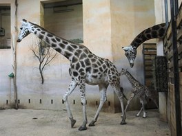 První procházka žirafích miminek v pražské zoo