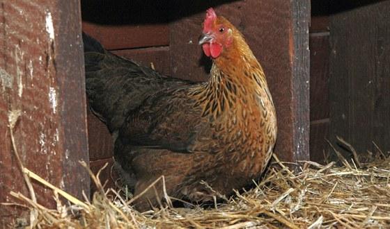 Do kukaně se vkládá falešné vejce ze sádry nebo porcelánu - pokladek. Slepice