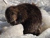 Zřejmě jediným tvorem v okolí Bečvy, kterého vrstva ledu nijak neznepokojovala,