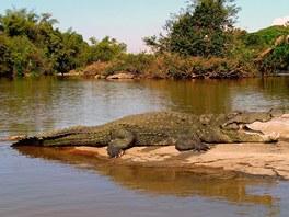 Aligátor čínský (Alligator sinensis) dorůstá maximální délky dvou metrů.