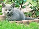 Cysty Toxoplasma gondii, kterými se člověk může nakazit, vylučuje kočka s močí