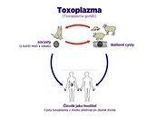 �ivotn� cyklus toxoplazm�zy