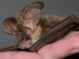 Záchranáři se stanice živočichů v Plzni hledají nálezce netopýra dlouhouchého,