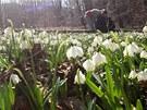 U obce Chébská rozkvetla louka bledulí.
