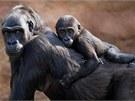 Kiburi se pro jistotu dlouho držel mámě na zádech.