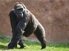 Na první jarní vycházku čekaly pražské gorily téměž půl roku. Na snímku Kamba