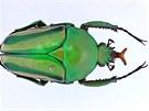 Eudicella schultzeorum z Kamerunu patří mezi chovatelsky nejoblíbenější druhy.