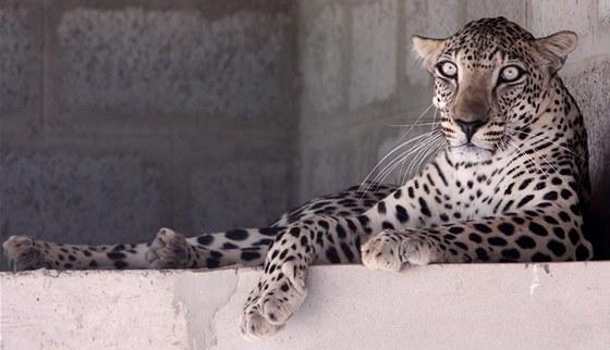 Levhart arabský je nejmenší ze všech levhartů. Přesto zvládne ulovit tahry,