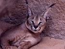 Jak ubývalo kořisti, ubývalo v divočině i šelem. Mezi původními druhy Arábie