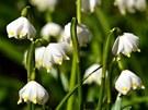 Květy bledulí