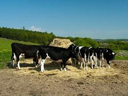 Zkratka přes ohradu s dobytkem