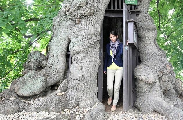 Jiřická lípa je nominovaná v celostátní anketě na Strom roku 2012.