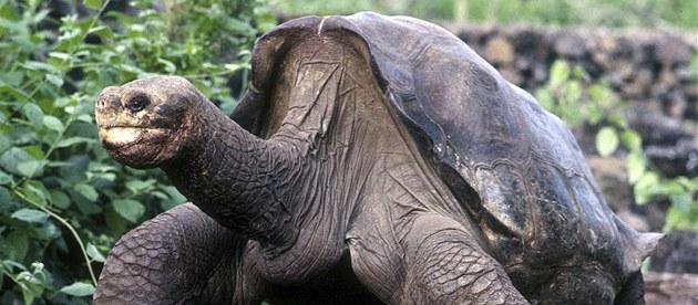Osam�lý George, stoletá �elva sloní z Galapág na archivním snímku