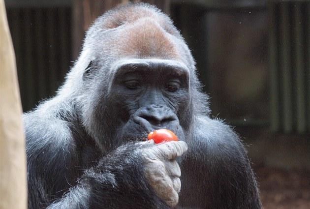 Samec gorily ní�inné Tadao se vrátil do zoo ve Dvo�e Králové. (27. 6. 2012)