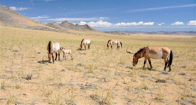 Skupina �pra�ských� klisen s h�íbaty a s h�ebcem Bo v mongolské rezervaci