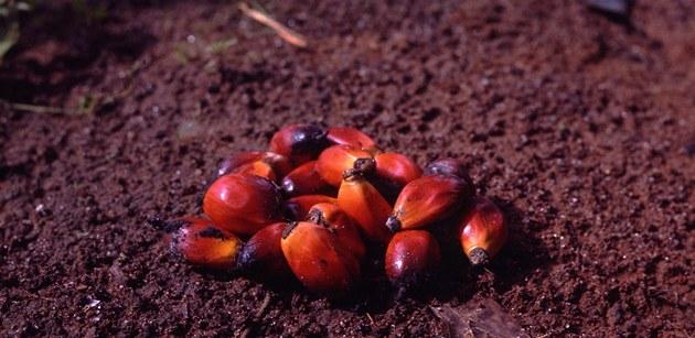 Semena palmy olejné, z nich� se vyrábí palmový olej.