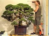 Zahradník Zdeněk Eichler se o unikátní bonsaj stará téměř třicet let.