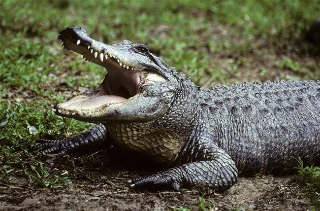 Krokodýl nilský. V zem�d�lském dru�stvu u Znojma jim p�erostl p�es hlavu, cht�jí proto 170 zví�at porazit. V �esku má zabíjení krokodýl� umo�nit nová vyhlá�ka, která má za�ít platit na podzim. Ilustra�ní foto