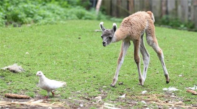 Malá lama poznává okolní svět.