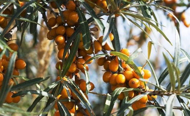 Plody rakytníku mají vysoký obsah vitaminu C. Lze je zavařit, zmrazit, udělat