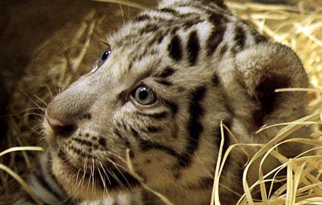 Jedno z mlá�at bílého tygra z liberecké zoologické zahrady, pro které vyberou