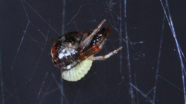 """Larva parazitické vosi�ky si """"osedlala"""" pavouka snova�ku."""