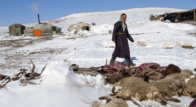 Mrazivá zima nebyla katastrofou jen pro pastevce, ale pro celou mongolskou...