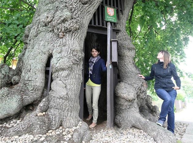 Třetí místo v soutěži Strom roku 2012 vybojovala sedm set let stará dutá lípa