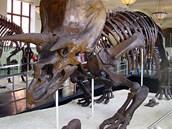 Rekonstruovaná kostra Triceratopse