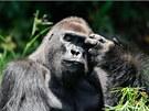 Gorily patří mezi ohrožené druhy a jejich stavy v přírodě nadále klesají. V několika desetiletích jim hrozí vyhynutí. Na snímku samec Makumba v rezervaci Dzanga Sangha ve Středoafrické republice.