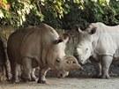Samice bílého nosorožce severního Nabiré (vlevo) a samec nosorožce bílého jižního Natal.