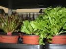 Sazenice salátu, který se sklízí postupně, po jednotlivých listech, a zase dorůstá.