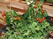 Ve velkoobjemov�m zavla�ovac�m truhl�ku u� m�ete p�stovat raj�ata �i papriky. K nim se daj� klidn� p�isadit i kvetouc� balkonovky.