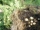 Sklizeň brambor, které vyrostly v ořechovém listí zamulčovaném slámou.