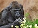 Shinda (*14. 6. 1991, Zoo Apenheul, Apeldoorn, Nizozemsko) žije v Zoo Praha od 5. 9. 2001. V rodině pražských goril zastává druhé nejvýznamnější místo, hned po Richardovi.