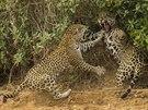 Oceněné snímky ze soutěže Wildlife Photographer of the Year, založené v roce 1964, jsou každoroční mezinárodní přehlídkou těch nejlepších fotografií z volné přírody v režii BBC Worldwide a Přírodopisného muzea (Natural History Museum) v Londýně. Soutěží se v 18 kategoriích, 49. ročník vybíral z desítek tisíc záznamů z celého světa. Vítězné snímky jsou v londýnském muzeu k vidění do 23. března 2014.   Vítězem jedné z kategorií je snímek zachycující okamžik trvající snad tři vteřiny, na záběr přitom autor čekal několik hodin na horkém slunci. Schovaný v lodi u břehu řeky Three Brothers v brazilské pánvi Pantanal poslouchal hlasité zvuky doprovázející námluvy a páření jaguárů, až se konečně jaguáři samice šla napít k vodě. Vzápětí ji následoval samec, po kterém se neváhala ohnat. Dvojice pak zmizela v podrostu a pokračovala v námluvách.