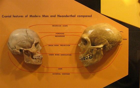 Srovn�n� lebky �lov�ka druhu Homo sapiens a neandrt�lce (vpravo). Vyniknou z�kladn� anatomick� rozd�ly, kter� ov�em podle genetick�ch poznatk� rozhodn� neznamenaly, �e by se oba druhy nemohly k��it.