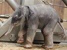 Slůně narozené v ostravské zoologické zahradě se teprve rozkoukává. (4. února 2014)