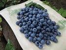 Hnojení zahradních borůvek