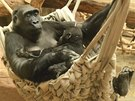 Odpo�inek po vy�erp�vaj�c�m enrichmentu: samice Kamba trp�liv� koj� ro�n�ho Nurua.
