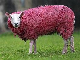 Růžová ovečka coby připomínka startu Giro d' Italia v Irsku.