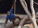 Různé oblečení nebo prostěradla jsou pro orangutany vítaným zpestřením dne. Gempa je dokonce schopen obléci si tričko.