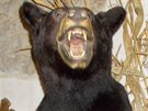 Vycpaný medvěd baribal, kterého přišli celníci zabavit do restaurace v Litomyšli.