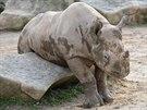 Samice nosorožce dvourohého Eliška se v Zoo Dvůr Králové narodila v září 2012.